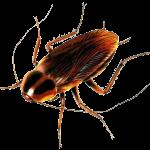 Cockroach in Durban